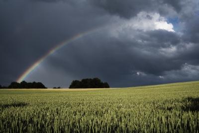 Regenbogen über grünen Weizenfeld