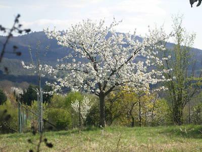 Blühender Baum auf einer Wiese