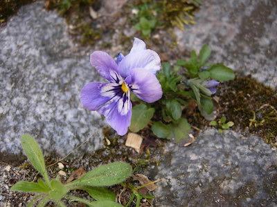 Blume zwischen Steinen