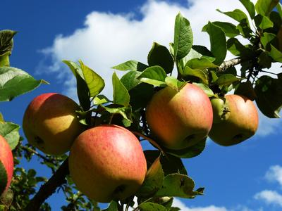 Reife Äpfel an einem Ast