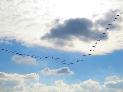 Kraniche-Formation am Wolkenhimmel