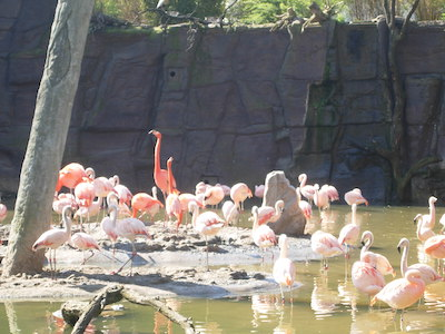 Gruppe Flamingos am Teich