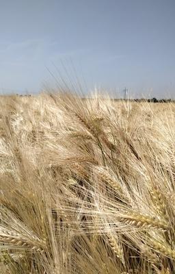 Weizenfeld in Nahaufnahme
