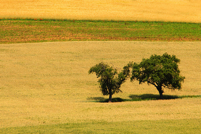 Felder und 2 Bäume in der Hitze