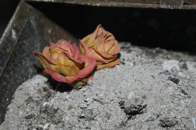 2 Rosen in der Asche