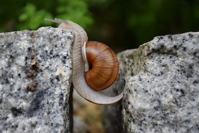 Schnecke überwindet einen Spalt zwischen zwei Steinen