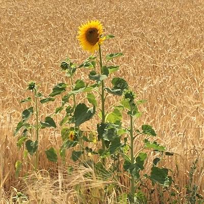 Sonnenblumen in einem Weizenfeld